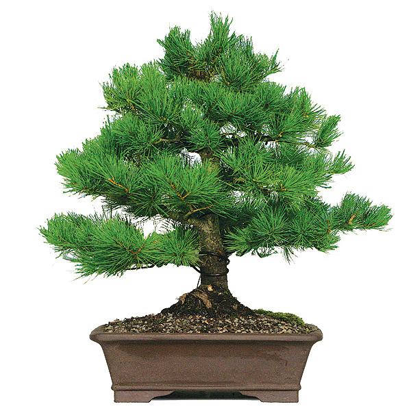 white-pine-five-needle-japanese-pine.jpg