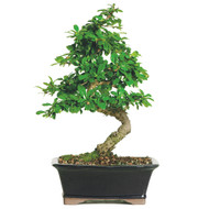 Fukien Tea Bonsai Tree (Indoor - FT08)