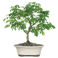 Brazillian Rain Tree (In/Out)