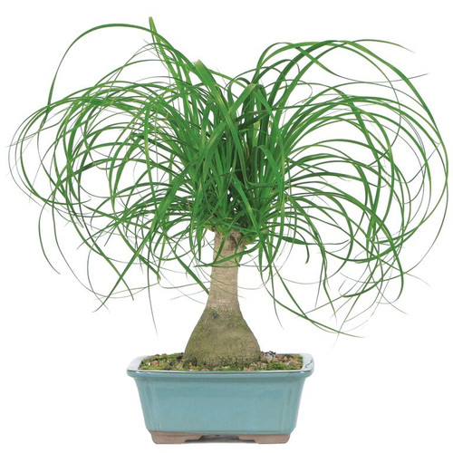Ponytail palm indoor bonsai outlet for Ponytail palm cats