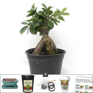 Refined Grafted Ginseng Ficus Bonsai Tree Kit. A Very Tolorent Indoor Bonsai