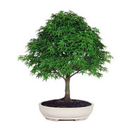 Japanese Maple Bonsai Tree (JMSP08) (Outdoor)