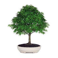 Japanese Maple Bonsai Tree (JMSP08) (Outdoor)