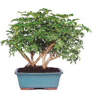Hawaiian Umbrella - Schefflera arboricola (Indoor)