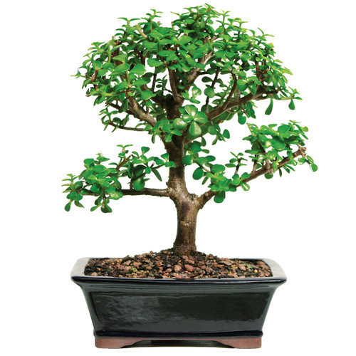 Best Selling Mini Jade Bonsai