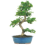 Chinese Elm (In / Out)