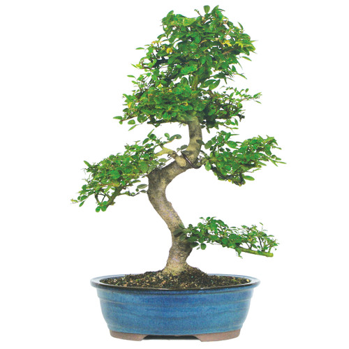 Indoor Bonsai Tree For Beginners Great For Corporate Gifts