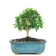 Dwarf Kingsville Boxwood (Outdoor)