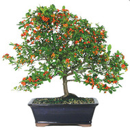 Dwarf Pyracantha Bonsai (Outdoor)