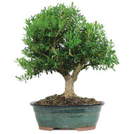 Harland Boxwood Bonsai (Indoor & Outdoor)