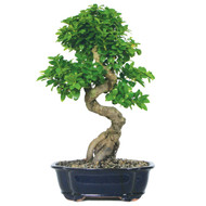 Ginseng Grafted Ficus (Indoor) (GMF10)