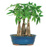 Money Tree Grove (Indoor)