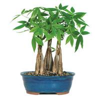 Money Tree Grove (Indoor)