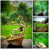 "Japanese White Pine with Exposed Roots (13"" Tall, apx 10 Years Old)"
