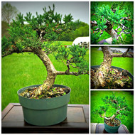 "San Jose Juniper (16"" Tall, apx 8 Years Old)"
