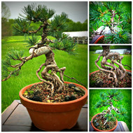 "Exposed Root Grafted Japanese White Pine (15"" Tall, apx 8 Years Old)"