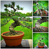 "Grafted Japanese White Pine (19.5"" Tall, apx 15 Years Old)"