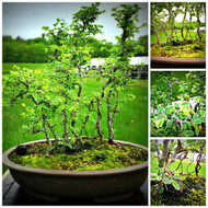 """Variegated Chinese Elm Grove (19"""" Tall, apx 5 Years Old)"""