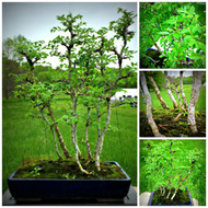 "Chinese Elm Grove (21"" Tall, apx 5 Years Old)"