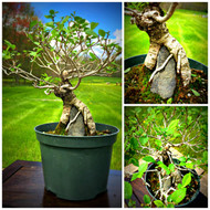 "Root Over Rock Chinese Elm (12"" Tall, 5 Years Old)"