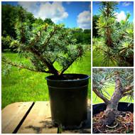 Grafted Horstmann Cedar Pre-Bonsai (C0262)