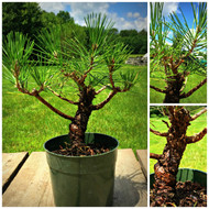 Japanese Black Pine Pre-Bonsai (C0316)