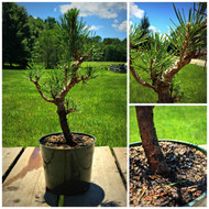 Japanese Black Pine Pre-Bonsai (C1071)