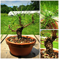 "Japanese Black Pine ""Hayabusa"" Pre-Bonsai (C1286)"