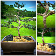 Chinese Elm (50336)