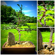 Chinese Elm (50339)