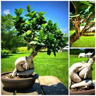 Ginseng Grafted Ficus Pre-Bonsai (50100)
