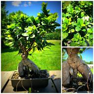 Ginseng Grafted Ficus Pre-Bonsai (50109)