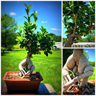 Ginseng Grafted Ficus (50104)