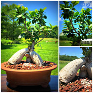 Ginseng Grafted Ficus (50107)
