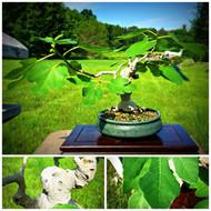 """Ficus """"Carica"""" Fig (C1076)"""