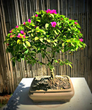 Pixie Bougainvillea (Indoor/Outdoor)