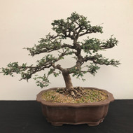 Collected Chinese Elm (B1245)