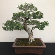 Collected Chinese Elm (B1246)