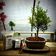 Brush Cherry Bonsai Kit