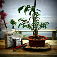 Golden Gate Ficus Bonsai Kit