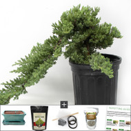 Refined and Upright Juniper Bonsai DIY Kit. Requires Wiring the Tree (Which Is Fun & Easy) To Turn It into an Upright Juniper.