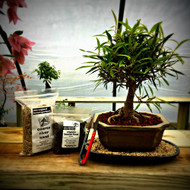Willow Leaf Ficus Bonsai Kit
