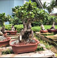 Collected Florida Ginseng Ficus
