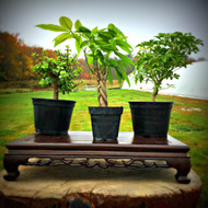 Unique Pre-Bonsai 3-Pack (Indoor)