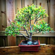 Willowleaf Ficus (Ficus neriifolia) - 10+ Years Old