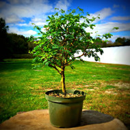 Pre-Bonsai Brazilian Rain Tree