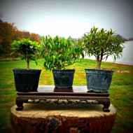 Ficus Pre-Bonsai 3-Pack 2 (Indoor)