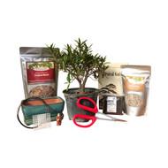 Bonsai DIY Kit - Willow Leaf Ficus