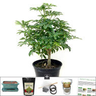 Refined Hawaiian Umbrella DIY Bonsai Kit. One of Our Best Selling Indoor Tree. Requires Low Light and Perfect For An Office with a Window.