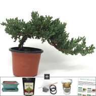 Compact Japanese Juniper Bonsai DIY Kit - The Karate Kid bonsai Tree. This is an Outdoor  Tree.